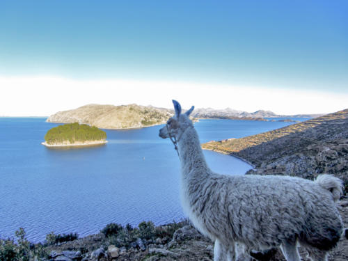 Lama am Titicacasee